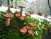 Armillaria, Schafstein, Rhoen Biosphere Reserve, Hessian Rhoen Nature Park, Bavaria, Germany
