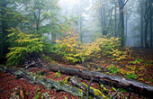 Beech forest, Rohrberg nature reserve, Spessart Nature Park, Lower Franconia, Bavaria, Germany