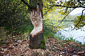 Marks of a beaver, Steigerwald Nature Park, Lower Franconia, Bavaria, Germany