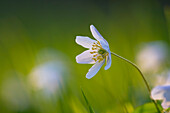Wood anemone, Steigerwald Nature Park, Lower Franconia, Bavaria, Germany