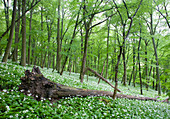 Wild garlic, Steigerwald Nature Park, Lower Franconia, Bavaria, Germany