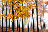 Beech forest in late autumn, Spessart Nature Park, Lower Franconia, Bavaria, Germany