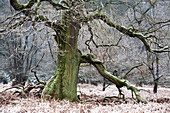 Oak in pastoral forest, North Hesse, Hesse, Germany