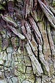 Bark of an old oak, North Hesse, Hesse, Germany