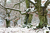 Old beech with snow, Meissner - Kaufunger Wald nature park, North Hesse, Hesse, Germany
