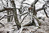 Trees in snow, Meissner - Kaufunger Wald nature park, North Hesse, Hesse, Germany