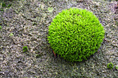 Moss, Rhoen Biosphere Reserve, Bavarian Rhoen Nature Park, Bavaria, Germany
