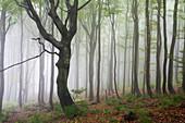 Beech forest, Rhoen Biosphere Reserve, Bavarian Rhoen Nature Park, Bavaria, Germany