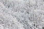 Hoar frost in a beech forest, Rhoen Biosphere Reserve, Bavarian Rhoen Nature Park, Bavaria, Germany