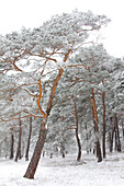Pine forest covered in frost, Hohefeldplate nature reserve, Unterfranken, Lower Franconia, Bavaria, Germany