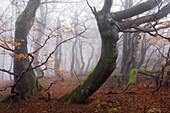 Beech trees, Rhoen Biosphere Reserve, Bavarian Rhoen Nature Park, Bavaria, Germany