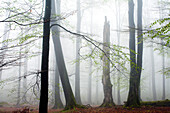 Deadwood in a beach forest, Spessart Nature Park, Lower Franconia, Bavaria, Germany