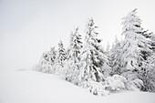 Snowy fir trees, Schauinsland, Freiburg im Breisgau, Black Forest, Baden-Wuerttemberg, Germany