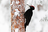 Black woodpecker (Dryocopus martius), on a snow covered coniferous tree trunk searching for ants and grubs, Taiga Forest, Finland, Scandinavia, Europe