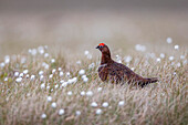 A male red grouse (Lagopus lagopus) on the ground in North Yorkshire Moors National Park, Yorkshire, England, United Kingdom, Europe