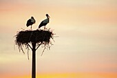 Sunset with couple of white storks in the nest San Vicente de Alcantara Province of Badajoz Extremadura Spain