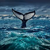 Humpback whale fluke, Antarctic Peninsula   Antarctica