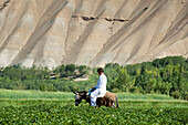 Local transportation, a boy goes to market through potato fields, Bamiyan Province, Afghanistan, Asia