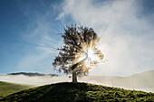 Herbstlich verfärbte Eiche (Quercus) im Gegenlicht mit Nebel, Schauinsland, Baden-Württemberg, Deutschland