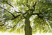 Holm Oak tree (Quercus Ilex), backlit, Bellaggio, Lake Como, Italy
