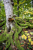Mossy tree trunk, sycamore or sycamore maple (Acer pseudoplatanus), Berchtesgaden National Park, Berchtesgadener Land district, Upper Bavaria, Bavaria, Germany