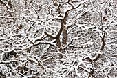oak tree in snow, Quercus robur, Bavaria, Germany
