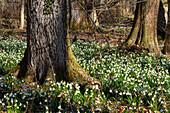 Snowflakes, Lecojum vernum, spring, deciduous forest, Upper Bavaria, Germany, Europe
