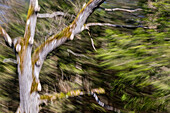 Moved deciduous tree, abstract, Bavaria, Germany, Europe