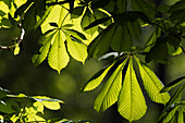 Blätter der Rosskastanie, Knospen, Aesculus hippocastanum, Oberbayern, Alpen, Deutschland