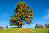 Oaktree and spruce in autumn, Quercus robur, Fagus sylvatica, Upper Bavaria, Germany, Europe