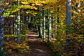 Weg in Buchenwald, Fagus sylvatica, Herbststimmung, Oberbayern, Deutschland, Europa