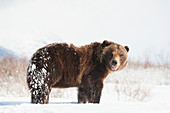 Captive brown bear ursus arctos playing in the snow at the Alaska Wildlife Conservation Center in winter, Portage, Alaska, United States of America
