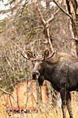 A young bull moose alces alces walks around with rope twisted around his antlers near Potter Marsh in autumn. He evidently got tangled up in the rope but broke free, Alaska, United States of America