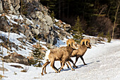 Male Bighorn Sheep Ovis canadensis on snow covered hillside with rock cliff in background, Alberta, Canada