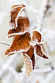 Close up of frosted dried brown leaves, Calgary, Alberta, Canada