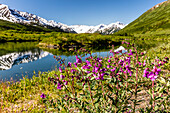 Dwarf Fireweed Epilobium latifolium growing along a pond with the Kenai Mountains in the background in Turnagain Pass, South, central Alaska, Alaska, United States of America