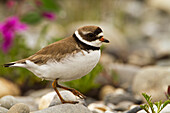 Semipalmated plover Charadrius semipalmatus standing on stone near bank of Sagavanirktok River, Arctic Coastal Plain, Northern Alaska, Alaska, United States of America