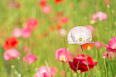 Poppies in a meadow, Burnaby, British Columbia, Canada