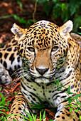 Jaguar Panthera onca, Belize Zoo, near Belize City, Belize