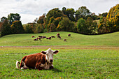 Cows resting and grazing in a farm field, Reading, Vermont, United States of America
