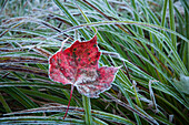 Frosty leaf in autumn, Waterbury, Vermont, United States of America