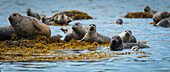 Harbour seal Phoca vitulina, Geographical Bay, Alaska, United States of America