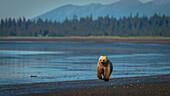 Alaskan coastal bear ursus arctos walking along the shoreline of a lake, Lake Clark National Park, Alaska, United States of America