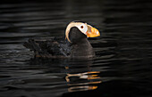 Tufted puffin Fratercula cirrhata, captive in a wildlife refuge, Seward, Alaska, United States of America