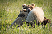 Alaskan coastal bear ursus arctos nursing her cubs, Lake Clark National Park, Alaska, United States of America