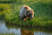 Alaskan coastal bear ursus arctos in a grass field at the water's edge, Lake Clark National Park, Alaska, United States of America