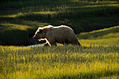 Alaskan coastal bear ursus arctos walking across a grass field, Lake Clark National Park, Alaska, United States of America