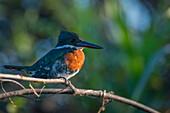 Giant Kingfisher Megaceryle maxima, Pantanal Conservation Area, Brazil