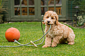 A cockapoo playing with a rope and ball on the grass in a backyard, South Shields, Tyne and Wear, England