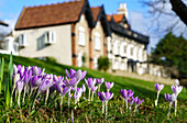 Crocuses in bloom in the foreground with houses and blue sky in the background, Whitburn, Tyne and Wear, England